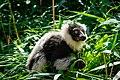 Lemur (36040302273).jpg