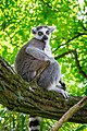 Lemur (36545382866).jpg