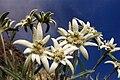 Leontopodium alpinum 5.jpg