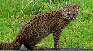 Leopardus - Leopardus guigna