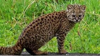 Leopardus - Image: Leopardus guigna