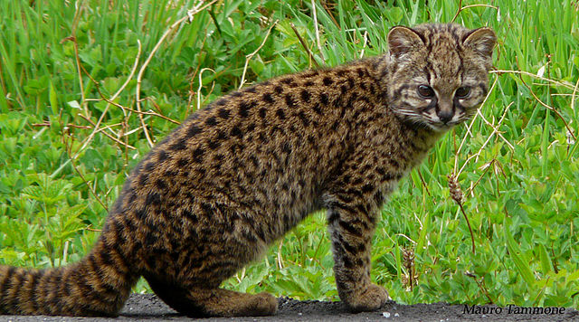 One of the world's smallest cats chirps like a wee bird 640px-Leopardus_guigna