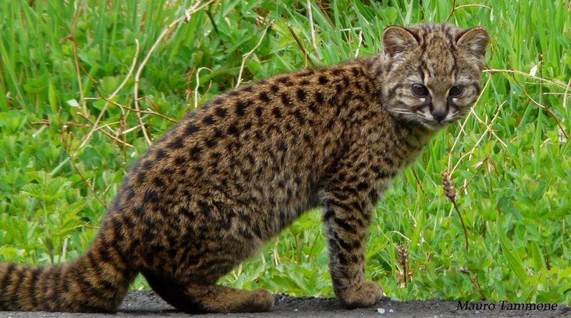File:Leopardus guigna.jpeg