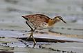 Lesser Jacana, Microparra capensis, Chobe River, Botswana (31372537724).jpg