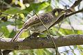 Lewins honeyeater with cicada.jpg