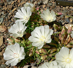 meaning of lewisia