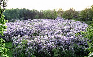Landscape park (protected area) - Lilac Grove in Dikanka. The former estate of Prince Kochubey. Laid down in the early 19th century. Regional Landscape Park «Dykanskyy»