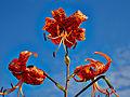 Lilium lancifolium-IMG 9248.jpg