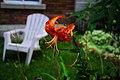 Lilium lancifolium in Montreal 01.jpg