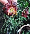 Lilium papilliferum (1) edit.jpg