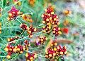 Linaria reticulata Flaming Passion.jpg
