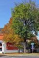 Linde beim Stadtamt Zwettl 01 2014-10 NDM ZT-167.jpg