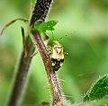 Liocoris tripustulatus Miridae (42387750970).jpg