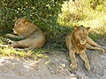 Lions chobe national park.jpg