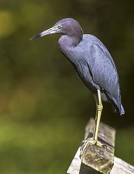 Little Blue Heron - Florida 04 0005 (15411347642).jpg
