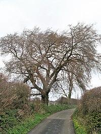Llandegfan Elm tree