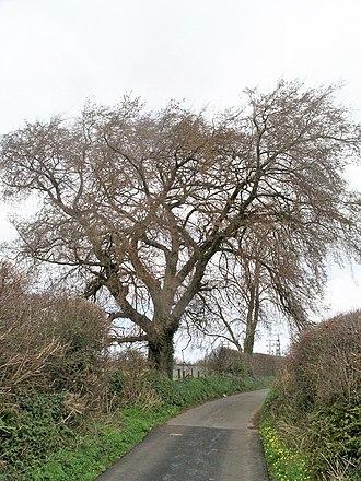 Llandegfan - White Elm at Llandegfan