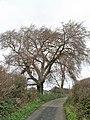 Llandegfan Elm tree.jpg