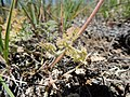 Lomatium foeniculaceum (27315496470).jpg