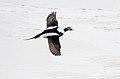 Long-tailed Duck (Clangula hyemalis) (11948074976).jpg