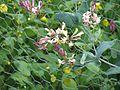 Lonicera hispidula - Flickr - peganum (3).jpg