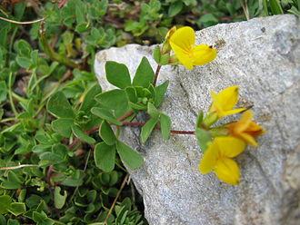 Lotus (genus) - Lotus alpinus