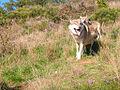 Loups de Mongolie (Canis lupus chanco)4.jpg