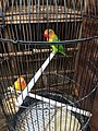 Lovebirds caged in Jatinegara Market.jpg