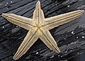 Luidia clathrata (lined starfish) (Cayo Costa Island, Florida, USA) 1 (23949381869).jpg