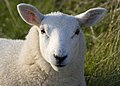 Lundy sheep (head detail).JPG