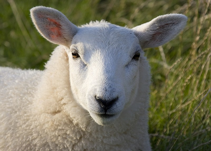 File:Lundy sheep (head detail).JPG
