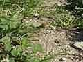 Lycaena phlaeas (5037652116).jpg