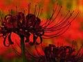 Lycoris radiata spiderlily higanbana DSCN9322.JPG