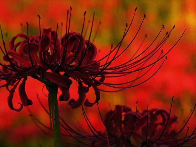 File:Lycoris radiata spiderlily higanbana DSCN9322.JPG