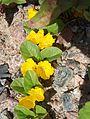 Lysimachia nummularia - Suikeroalpi, Penningblad, Moneywort HPIM6530 C.JPG