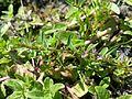 Lythrum tribracteatum sl5.jpg