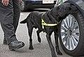 MOD Police Search Dog MOD 45152831.jpg
