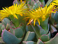 Machairophyllum brevifolium.jpg