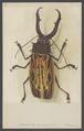 Macrodontia - Print - Iconographia Zoologica - Special Collections University of Amsterdam - UBAINV0274 001 10 0005.tif