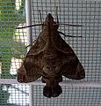 Macroglossum prometheus prometheus (Thailand, Nonthaburi, Bang Bua Thong, Soi Mu Ban Bua Thong 4-2, 5.iii .2015) (D. Kruger) 3.jpg