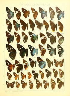 <i>Porphyrogenes</i> genus of insects