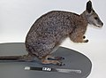Macropus eugenii (AM LM827-6).jpg