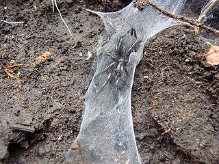 <i>Macrothele calpeiana</i> species of arachnid