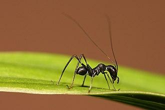Mimicry - Macroxiphus sp katydid mimics an ant