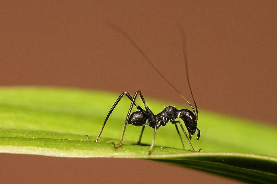 Macroxiphus sp cricket