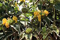 Madeira, Palheiro Gardens - Strauch-Brandkraut (Phlomis fruticosa) IMG 2277.JPG