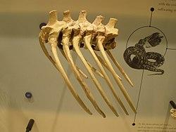 Resultado de imagem para Madtsoiidae fossil