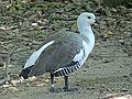 Magellan Goose male RWD.jpg