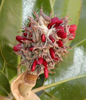 Magnolia seeds.jpg