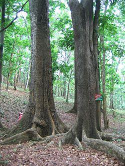 definition of mahogany